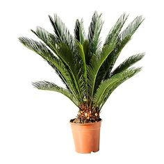 Image from http://www.ikea.com/au/en/images/products/cycas-revoluta-potted-plant__0112755_PE264647_S4.JPG.