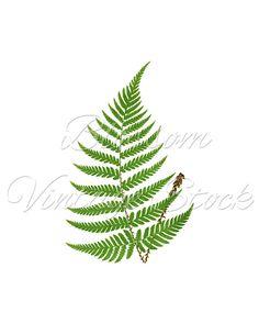 Vintage Fern Botanical Print, Botanical Fern PNG Leaves Image - Digital Antique Illustration INSTANT DOWNLOAD - 1511