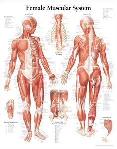 Female muscle anatomy #health #fitness