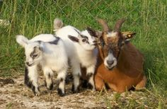 Pygmy goats are one of the easiest pet to keep.