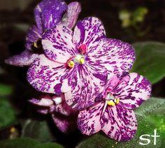 Saintpaulia- varietal african violet Fisher's Leone- 2 leaves | eBay