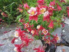 Columbine 2015 - my garden
