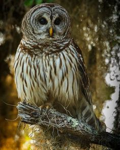 Nothing quite as soulful as the eyes of a barred owl one of my favorite birds to encounter in the Florida woods.  #hahnnaturephotography #outdoorphotoworkshops @nicole.hahn2 #tampaphotographer #tampabay #birdphotography #birdsofinstagram #birds #birdfreaks #animallovers #best_birds_of_ig #wildplanet @wildplanetphotomag #wildlife_seekers #wildlife_perfection #instabirds #instagram_florida #instagram_floridafishandwildlife @myfwc #nuts_about_birds #nature_shooters #birdstagram #floridabirds…