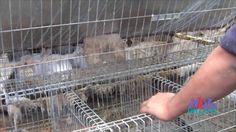 Video limpieza de jaulas de conejos