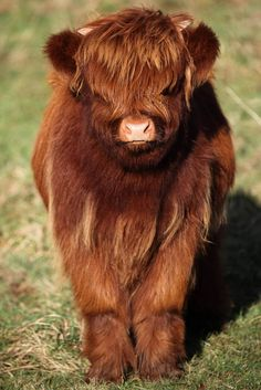 These Baby Highland Cattle Cows Can Cheer You Up No Matter What Happened – Savedbygrace - Baby Animals Cute Baby Cow, Baby Cows, Cute Cows, Cute Baby Smile, Fluffy Cows, Fluffy Animals, Baby Animals Pictures, Cute Animal Photos, Cute Little Animals