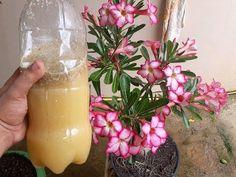 incrivel esse liquido faz sua planta florir e vc só gasta 3 reais confiram. - YouTube