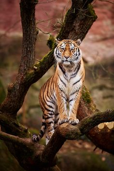 The tiger is the guardian of the forests, according to Indian wisdom. This captive tiger seems to be doing his/her own vigil. Nature Animals, Animals And Pets, Cute Animals, Animals In The Wild, Beautiful Cats, Animals Beautiful, Big Cats, Cats And Kittens, Chat Lion