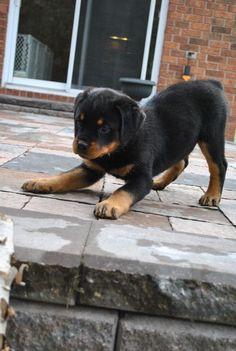 Rottweiler Puppy #rottweiler #pets http://www.nojigoji.com.au/