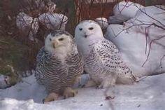 OWLS IN SNOW - Bing