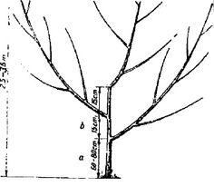 Gradinarit anotimp cu anotimp: Forme de coroana ale pomilor fructiferi Fruit Trees, Grape Vines, Pergola, Gardening, Plant, Shape, Wall, Vineyard Vines, Outdoor Pergola