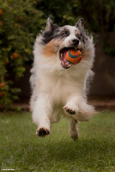 25 Behaviours That Show How Rude Australian Shepherds Can Be Australian Shepherds, West Highland Terrier, Scottish Terrier, Rottweiler, Husky, Dog Dna Test, Shetland Sheepdog Puppies, Herding Dogs, Yorkie Puppy