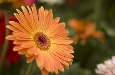 . Gerbera Daisies, Beautiful Flowers, Daisy, Gardening, Plants, Pretty Flowers, Bellis Perennis, Lawn And Garden, Daisies