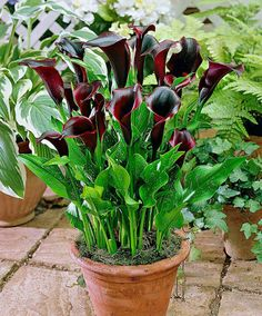 I Was Recently Gifted A Calla Lily Plant And While Looking Up Its Care Learned Aside From Is Elegant Beauty The Very Toxic