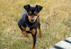 The Miniature Pinscher is fearless and loyal, with robust guard and protection instincts.