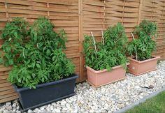Paradeiser Tomaten ziehen