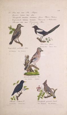 Spotted Nutcracker, Magpie or Pianet, Eurasian Jay, European Starling, Bohemian Wax-Wing   ...