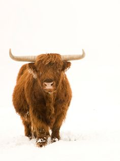 Scottish Highland Steer in the snow