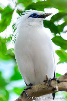 #bali #mynah #bird