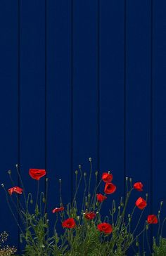 Love the color combo..red poppies against the bright blue fence is just awesome!
