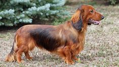 Finding names for female dachshund dogs is not an easy task. Discover best and funny girl dachshund names of 2020. Amelia, Lily, Greta, Heidi, Lola, Zoe … You'll have to carefully take into account your...