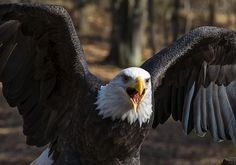 Bald Eagle Protecting Its Meal by Chris Flees #eagle #nature #photography