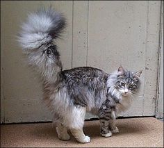 Norwegian Forest cat with majestic tail Cool Cats, Cute Cats And Dogs, Cats And Kittens, Cat Hug, Dog Cat, Siberian Cat, Norwegian Forest Cat, Warrior Cats, Domestic Cat