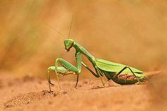 Arthropoda, Hexapoda, Ectognatha/Insecta, Dictyoptera, Mantodea (bidsprinkhanen)