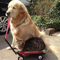 Oliver the golden retriever dog and Arashi the cat best friends