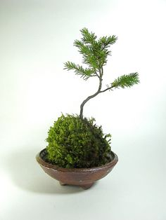 Hand-made, wood-fired bonsai kusamono pot by Czech artist Miroslava Randová.  Pine kokedama (moss ball) created by the ikebana shop.  This item has already found a home.