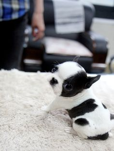 Little cute puppy in black and white color ... click on picture to see more