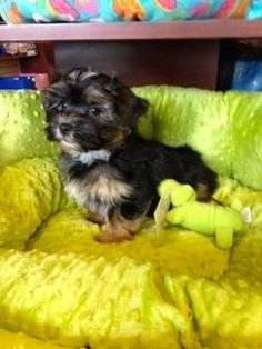 Toy Yorkie Puppy. The Yorkshire Terrier is a small dog