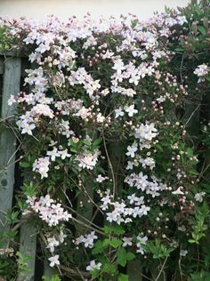 Clematis montana var. rubens 'Pink Perfection' - a great choice for a large garden