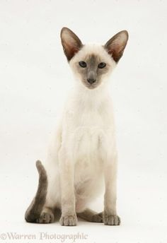 Photograph of Blue-point Siamese cat. Rights managed white background image. Siamese Cat Tattoos, Siamese Kittens, Cats And Kittens, I Love Cats, Crazy Cats, Cool Cats, Blue Point Siamese, Grand Chat, Oriental Shorthair Cats
