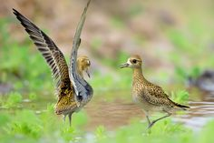 ~ My Brother ~ 我的兄弟 鳥類名稱 Bird Name:金斑鴴 英名English Name: Pacific Golden Plover.       學名 Scientific Name:Pluvialis fulva. 科名 Family:鴴科(Charadriidae). 圖像大小 Image Size : 6000 x 4000 pixel My Facebook page : https://www.facebook.com/fuyi.chen.9