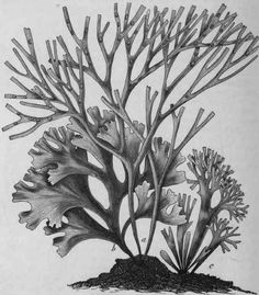 Irish Moss (Chondrus crispus). Three different forms of the plant, a, b, c; a, with reproductive organs, natural size. (Luerssen).