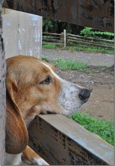 Beagle :o)