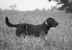 Silvertons Whole Lotta Ammo #huntingdogs #retrievers