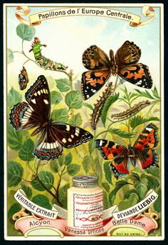 1897. Butterflies of Central Europe (No. 5) trading card issued by Liebig Extract of Beef Company. S518.