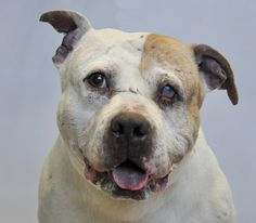 URGENT NEED OF HOME: Rescued From Dog Fighting Ring Murdock Needs A Miracle - http://www.rescuedognews.com/urgent-need-of-home-rescued-from-dog-fighting-ring-murdock-needs-a-miracle/