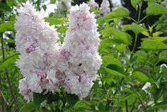 Syringa v. 'Krasavitsa Moskvy' (Beauty of Moscow) - had in Steveston garden An exquisite variety, highly-rated year after year. Pale pink buds open to palest blush-white florets. Bush Garden, Garden Trees, Garden Plants, Pink Garden, Dream Garden, Syringa Vulgaris, Lilac Tree, Lilac Bushes, Grass Flower
