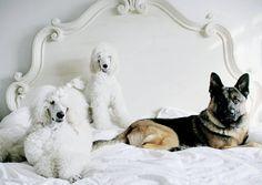 Pics took a little while!  Doggie sitting was fun! @watchingwaiting @scottydangerous1 @brittanyanneart #gsd #dogs #showpoodlelife #pup #petstagram #fashiondog #frenchpoodle #picoftheday #dogoftheday #handsome #bestdogever #germanshepherds #germanshepherd #standardpoodle #pudel #poodles #dogstagraming #poodle #poodlesandpaws #whitepoodle #dogsitting #notliketherest #mybed #puppy #photo #animals #dogfeatures @poshpuppy #paws #pawsome