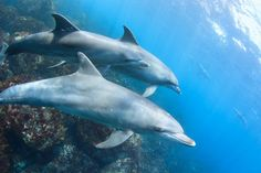 Wild dolphins in Japan