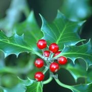 How to Propagate Holly Bushes | eHow