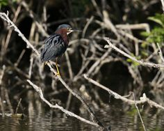 Green Heron adjusting his/her feathers