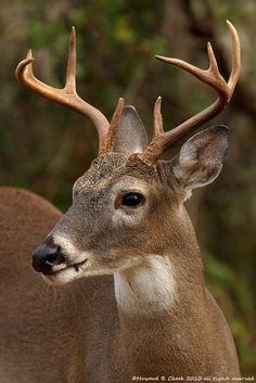 October Whitetail by HowardCheekPhotography.com, via Flickr