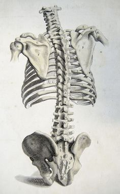 Rear view of the bones of the torso. Anatomy improv'd and illustrated with regard to the uses thereof in designing. (London: John Senex, 1723).  #spine #bones #bone #ribs #scapula #skeleton #medical #medicine #anatomy #illustration #drawing #vintage
