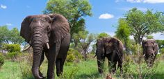 """Kruger National Park is one of the world's most famous safari parks. One of the oldest game reserves in South Africa, the park lies about a to hour drive from Johannesburg and offers visitors the chance to see the """"Big Five"""": lion, …… Kruger National Park, National Parks, Attraction World, Visit South Africa, Wetland Park, Game Reserve, Greatest Adventure, Adventure Travel, Vacation Pictures"""