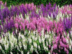 Angelonia garden