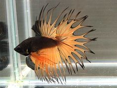Stunning mustard and black crowntail. Would be great for Halloween!