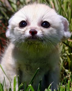 Fennec Fox Cub by Pam Wood. Fennec foxes turn me into a puddle of squee. Cute Creatures, Beautiful Creatures, Animals Beautiful, Cute Baby Animals, Animals And Pets, Funny Animals, Malamute, Wolf Hybrid, Wild Dogs